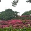 岡山半田山植物園のサツキ、見ないと損する美しさです。