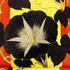 5/22(金)〜25(月) KAPUKI×wing popup 「夢幻アナクロニズム」販売商品 黒朝顔の帯