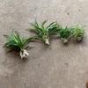 オリヅルラン鉢植え