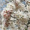 【横浜観光】三つ池公園でお花見!