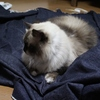 体を張ってじゃまをする猫