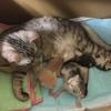 保護猫のムーアさんの子育て①産後翌日~10日くらいのこと。