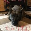甲斐犬サンの『甲斐犬の特徴』〜其の2  チラリズム❤︎フフッ(´ー+`)キラッ❤︎