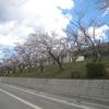 鹿島小学校の桜が開花しました! 2019