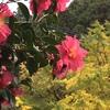 イチョウの黄葉と紅色の山茶花♪