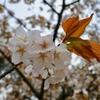 奈良公園の桜/とくとご覧あれ。ちらほらと花やかにあちこちにひらひらと。