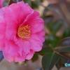 早春の椿と和菓子  《白鳥庭園 #1》