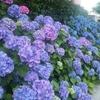 紫陽花と 柴又100Kと はてブロT