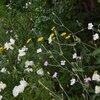 梅雨時・宿根の花