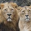 ライオンの特徴:web動物図鑑