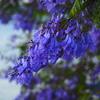美しき「グアテマラ桜」ハカランダで中南米の花見をお楽しみあれ