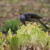 白菜を啄むヒヨドリ