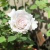 真夏の薔薇 ガブリエル&ラピスラズリ