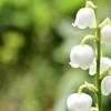 北海道代表の花 スズラン