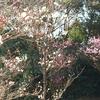 トヨタホームこころ展示場のブログだけど、冠山総合公園梅まつりに行った話し。