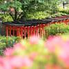 根津神社「文京つつじまつり」の開花状況