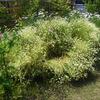 カモミール花壇 終了