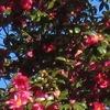 切り株や去年の椿の花惜しむ