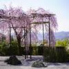 圓光寺で遅咲きの枝垂れ桜や新緑を愛でる@2019_α7RIII編