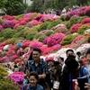 今年こそは花盛りを見たくて根津神社「文京つつじまつり」へ