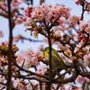 孝行ドライブ熱海桜編③熱海桜とメジロとの格闘