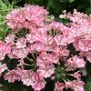 ピンクのパラソルのような無数の花! バーベナ 桜スター