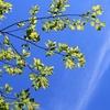 ホオジロのかけひき&増えてきたミヤマカワトンボ&涼しげなアオテンナンショウ♪
