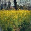 06/05/2017『Rapeseed field 菜の花畑』#かもし(Original Piano オリジナル ピアノ)