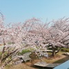 家のドアを開けると桜が満開!桜は優しくふんわりした気持ちにさせてくれる。
