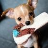 犬アドベントカレンダー14日目 チワワ