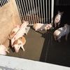 マザー牧場 子豚のレース