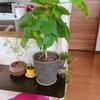 夏の帰省、観葉植物を枯らさないための対策☆