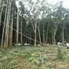 秋になって 古徳沼の杉の伐採
