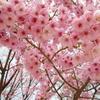 🌸お花見🌸 新宿御苑に行って来ました