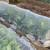 キャベツと白菜収穫したよ!