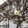 あれから1年の梅の花