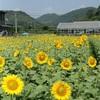 Sunflowers at Akaiwa, Okayama, Japan