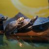 モンキヨコクビガメ Podocnemis unifilis