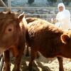 ★韓国「政府、豚口蹄疫ワクチン、でたらめな接種法を許容」
