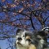 河津桜をミントも楽しむ