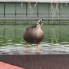 7月下旬:世田谷区・駒沢オリンピック公園周辺をお写んぽ。その壱/オリンピック記念塔下の水辺で暮らすカルガモたち
