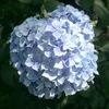 紫陽花の季節だなぁ