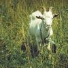 やすとものどこいこ!?で紹介されたヤギ(レイヴィー)のボディシャンプーがめっちゃいい