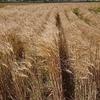 もち麦は家庭菜園での栽培も可能です