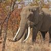 マンモスの牙が出回っている 輸出を禁止されている象牙も乱獲の恐れ 見分けがつかない