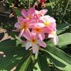プリメリアの花