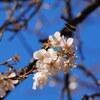 続十月桜「大乗寺丘陵公園」
