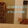 柴犬チャー、先輩になる!!
