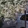 バイト辞め旧友シルバーのジャスミンの花がきれいでした
