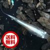 【送料無料】(メダカ)スーパー白幹之(みゆき)めだか / スーパー白幹之メダカ(10尾) サイズ M〜L